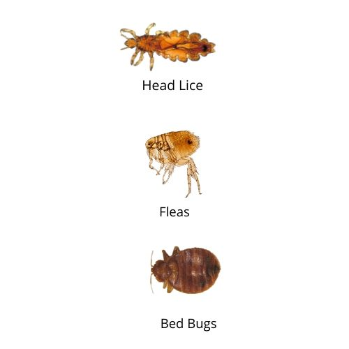 Head Lice vs fleas vs bed bugs