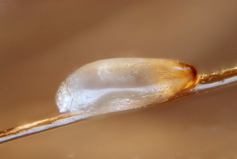 Egg of the head louse (Pediculus humanus capitis) on a hair. The picture was taken after an anti-lice treatment  (Oxyphthirine - a substance based on Triglycerid producing a kind of film at the surface of the eggs and lice that induce asphyxia).  This egg is therefore dead and its aspect can be slightly different from an alive egg. It seems to be slightly deshydrated.  Scale : egg length= 0.57 mm  Technical settings :  - focus stack of 42 images - microscope objective (Nikon achromatic 10x 160/0.25) on bellow (160 mm extension)