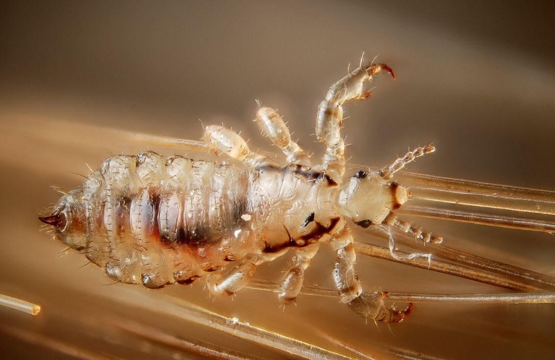 Up close image of a super lice bug. Lice have six legs attached to their abdomen. The lice appears golden brown/translucent in color. Its dark stomach can be seen through its shell. The lice is attached to a blonde hairstrand.
