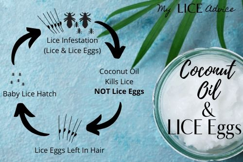 Coconut oil lice cycle