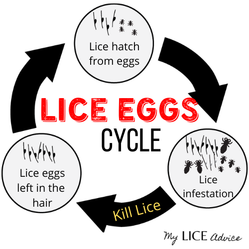 Lice Eggs Cycle