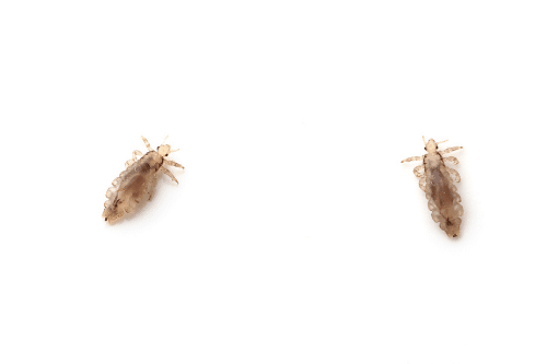 male and female lice